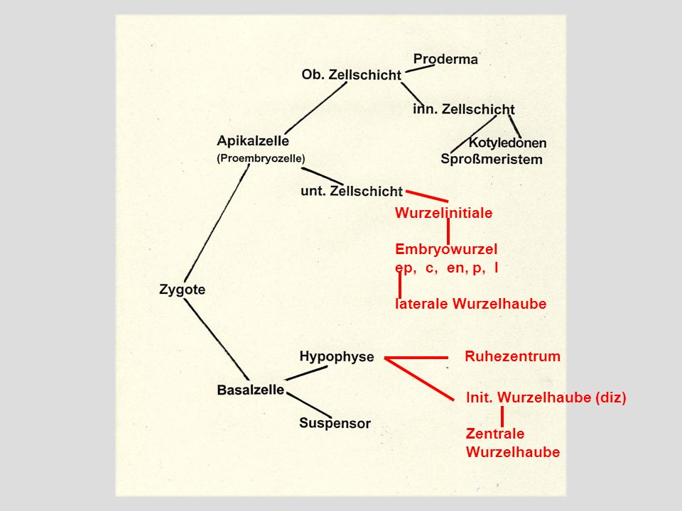 WurzelinitialeEmbryowurzel. ep, c, en, p, l. laterale Wurzelhaube. Ruhezentrum. Init. Wurzelhaube (diz)