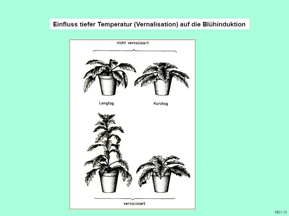 Einfluss tiefer Temperatur (Vernalisation) auf die Blühinduktion
