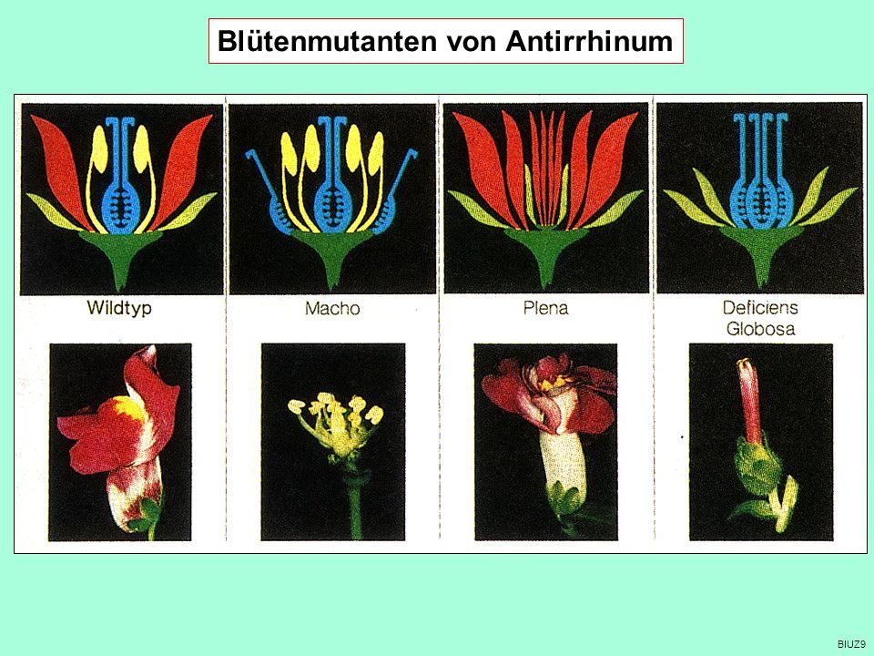 Blütenmutanten von Antirrhinum