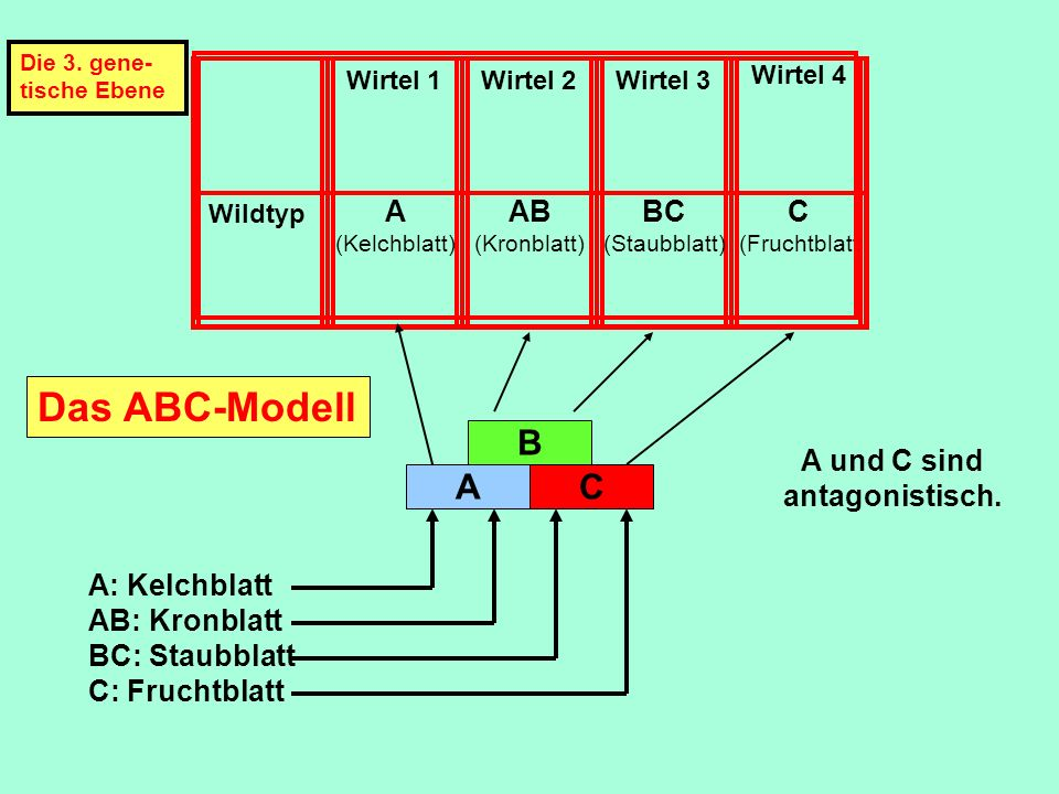 Das ABC-Modell B A AB BC C A und C sind antagonistisch. A: Kelchblatt