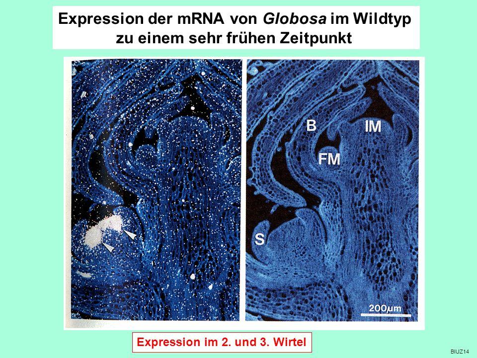 Expression der mRNA von Globosa im Wildtyp