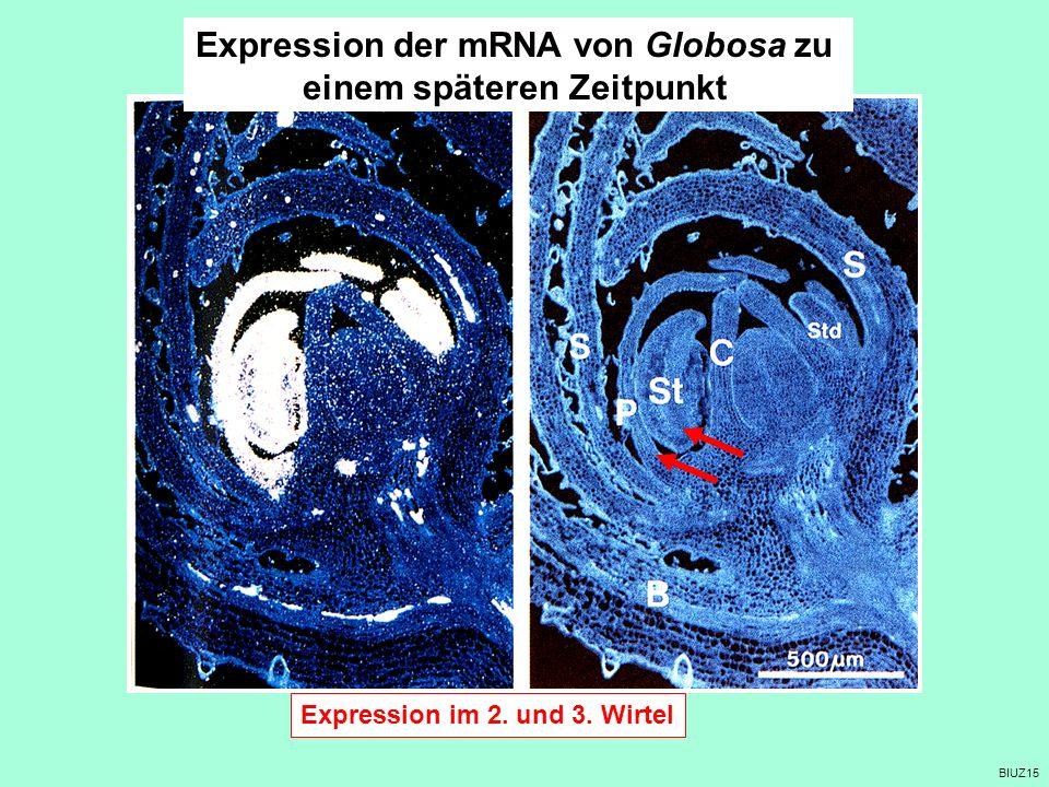 Expression der mRNA von Globosa zu einem späteren Zeitpunkt