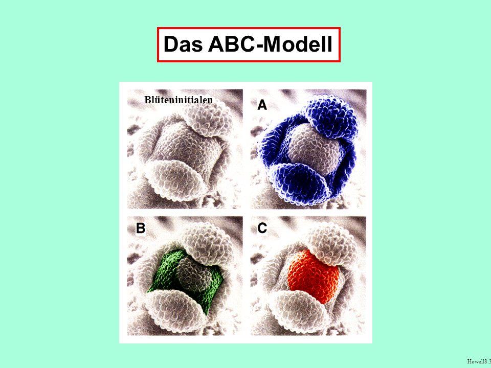 Das ABC-Modell Blüteninitialen Howell8.4 Howell8.3