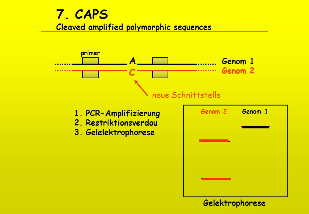 7. CAPS Cleaved amplified polymorphic sequences