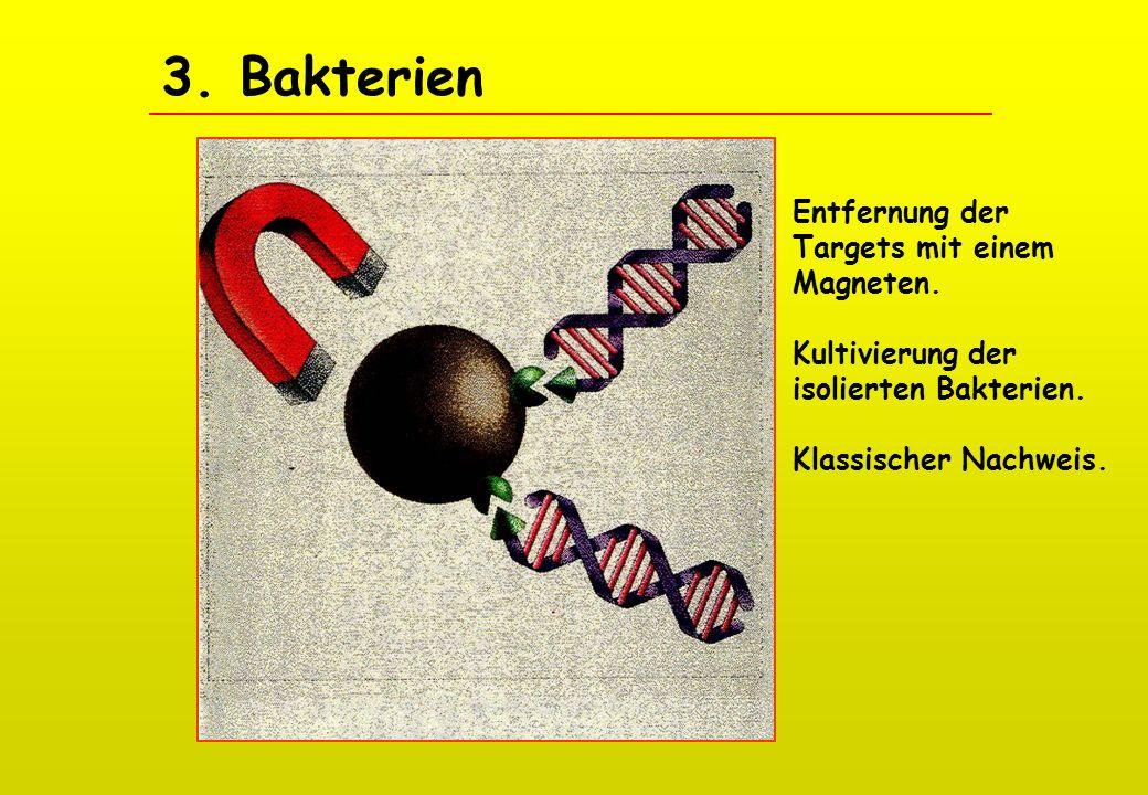 3. Bakterien Entfernung der Targets mit einem Magneten.