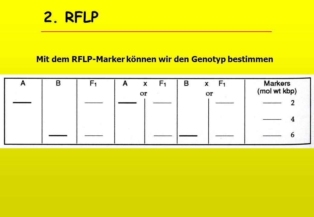 2. RFLP Mit dem RFLP-Marker können wir den Genotyp bestimmen