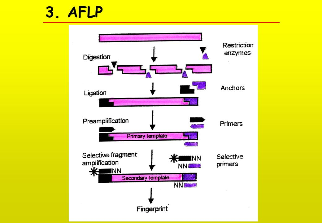 3. AFLP