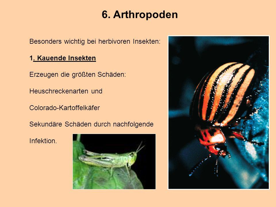6. Arthropoden Besonders wichtig bei herbivoren Insekten: