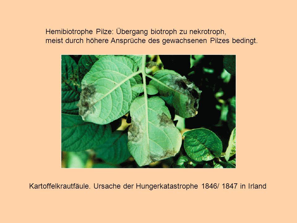 Hemibiotrophe Pilze: Übergang biotroph zu nekrotroph,
