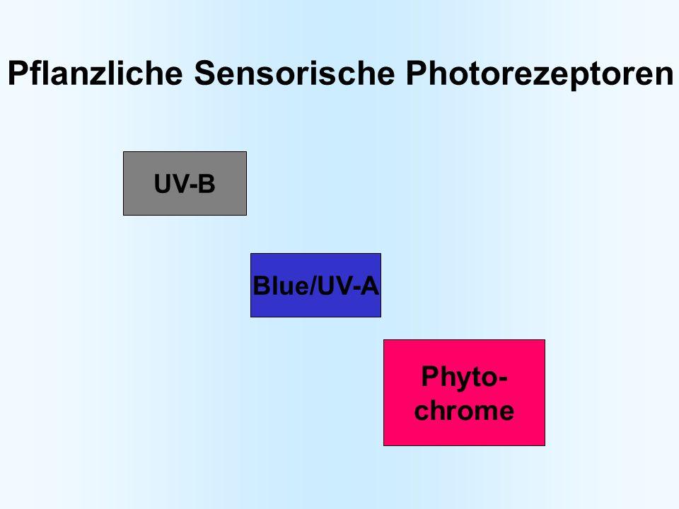 Pflanzliche Sensorische Photorezeptoren