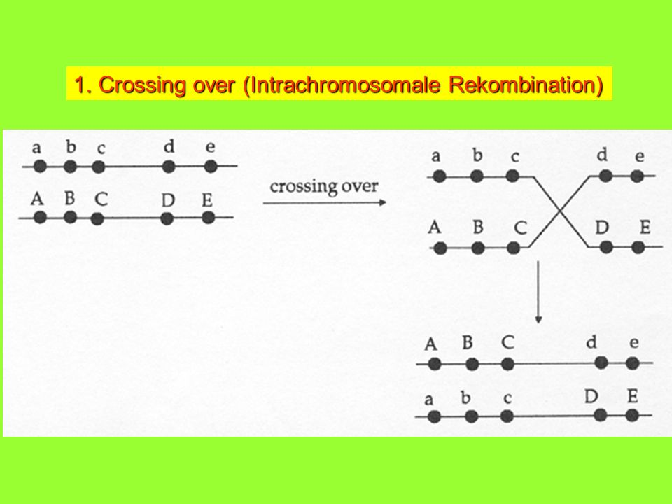 Crossing over (Intrachromosomale Rekombination)