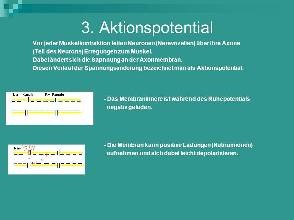 3. Aktionspotential Vor jeder Muskelkontraktion leiten Neuronen (Nerevnzellen) über ihre Axone. (Teil des Neurons) Erregungen zum Muskel.