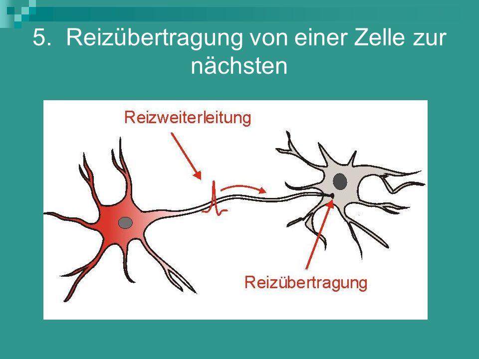 5. Reizübertragung von einer Zelle zur nächsten