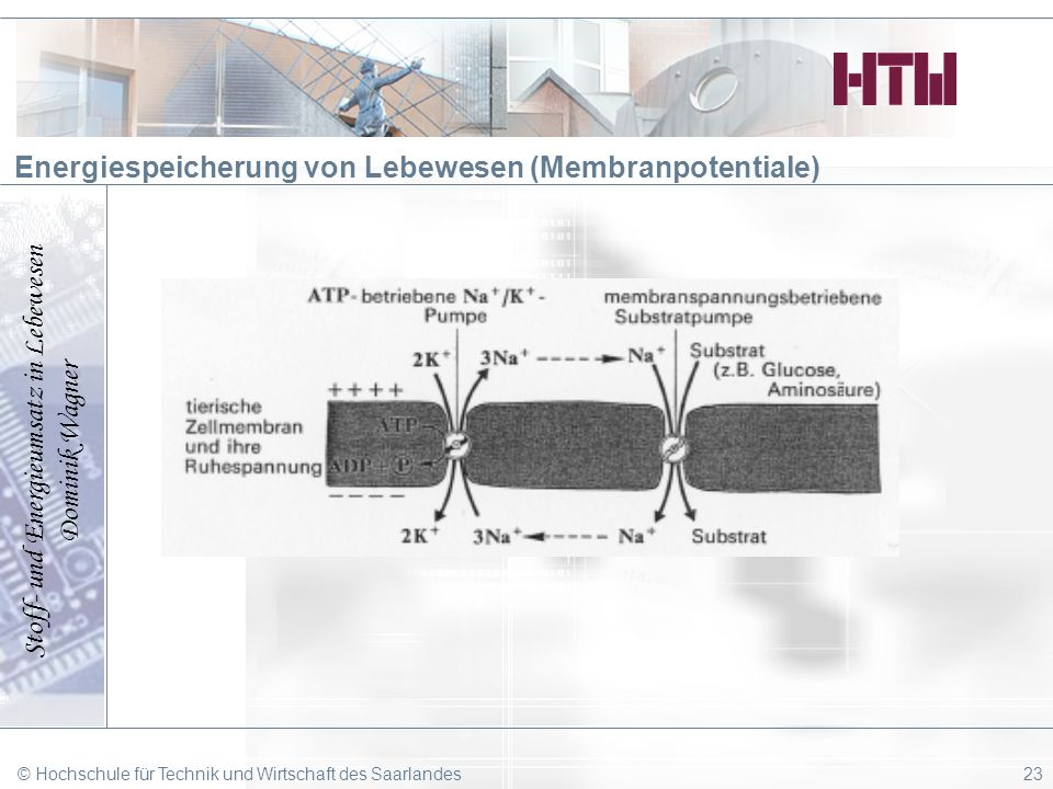 Energiespeicherung von Lebewesen (Membranpotentiale)