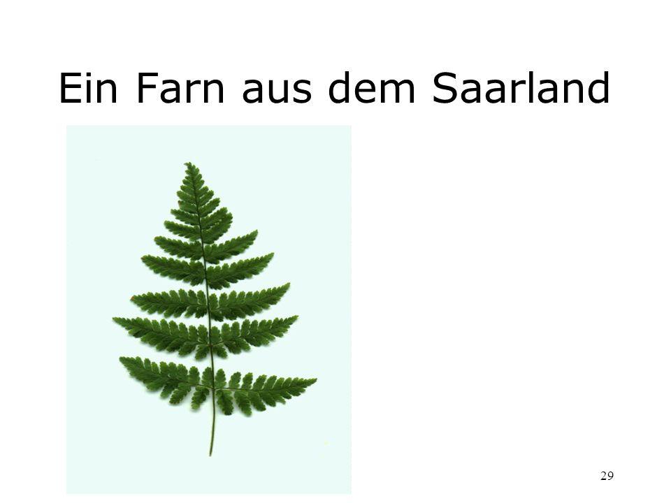 Ein Farn aus dem Saarland