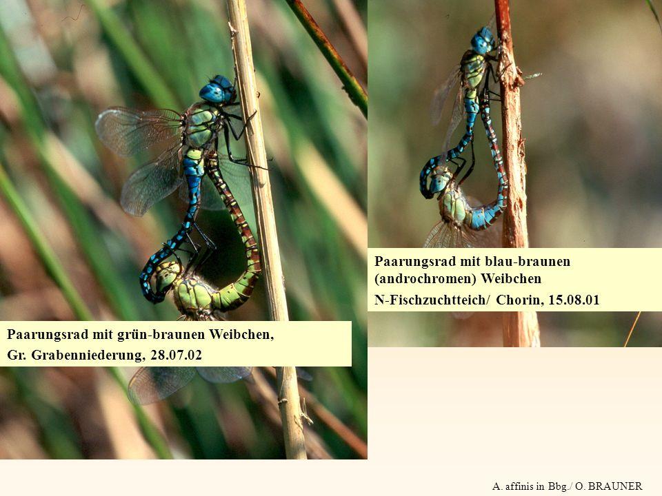 Paarungsrad mit blau-braunen (androchromen) Weibchen