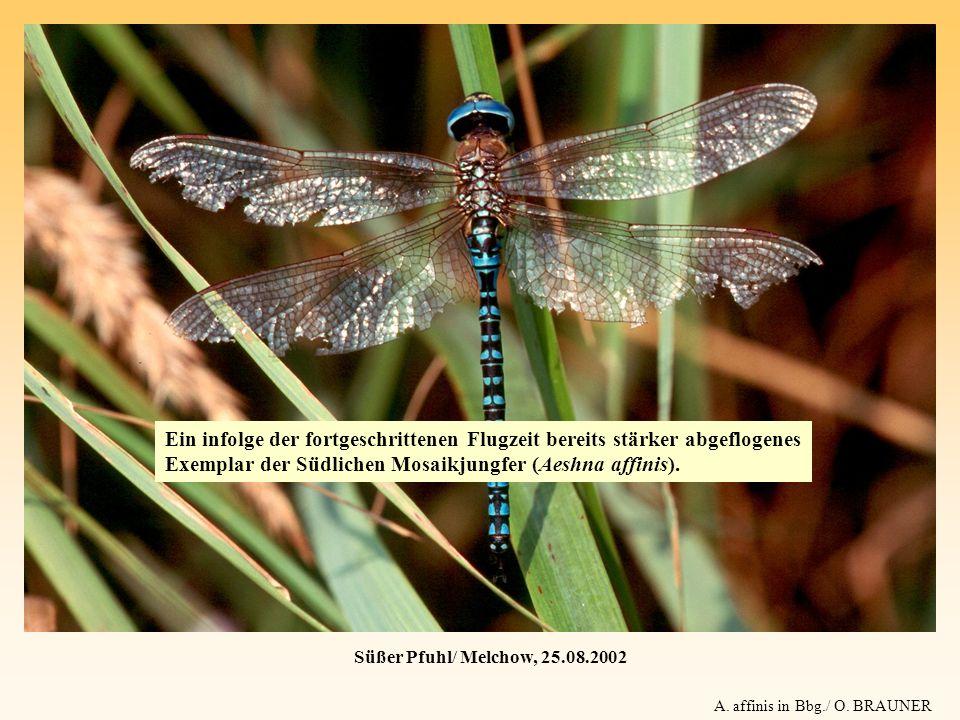 Ein infolge der fortgeschrittenen Flugzeit bereits stärker abgeflogenes Exemplar der Südlichen Mosaikjungfer (Aeshna affinis).
