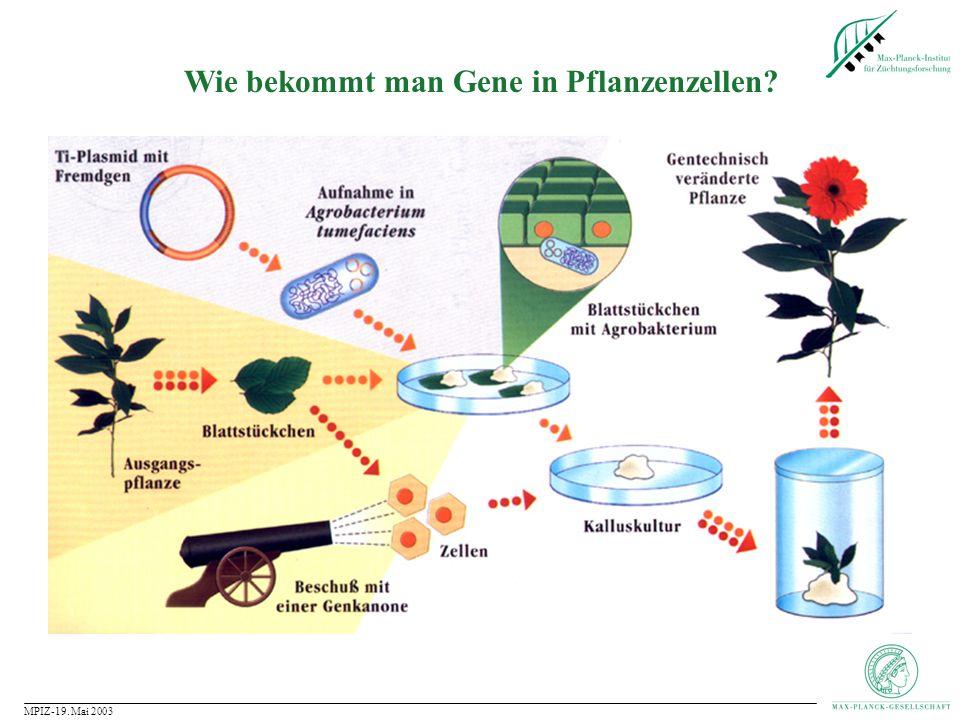 Wie bekommt man Gene in Pflanzenzellen