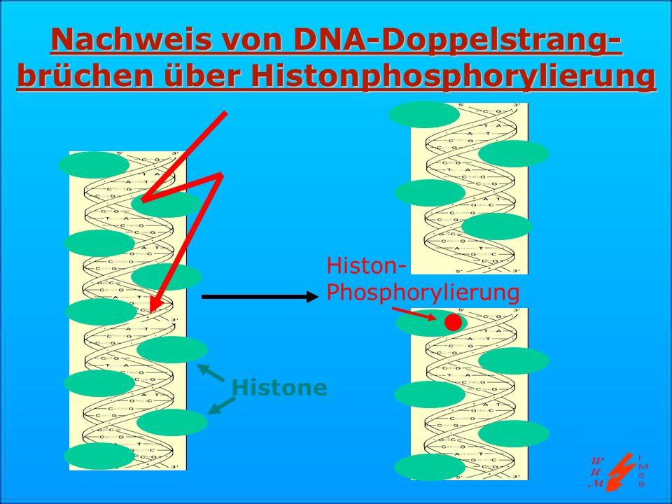 Nachweis von DNA-Doppelstrang-brüchen über Histonphosphorylierung