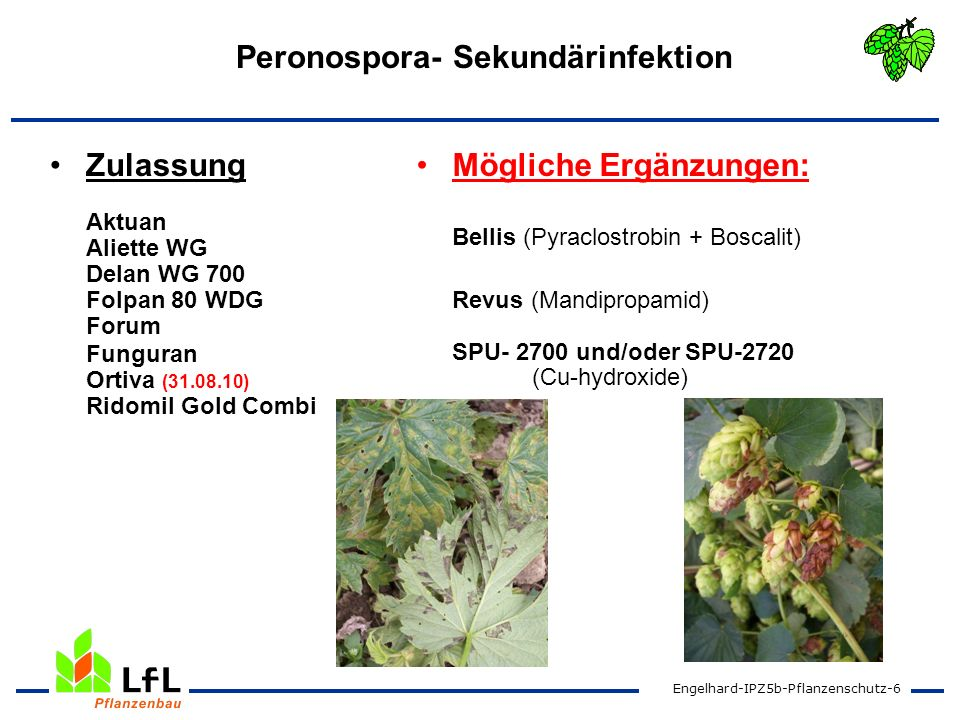 Peronospora- Sekundärinfektion