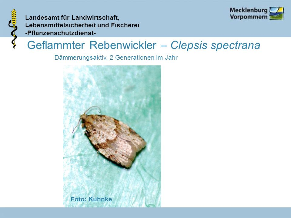 Geflammter Rebenwickler – Clepsis spectrana