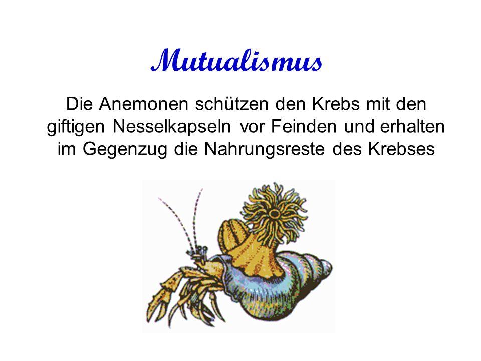 Mutualismus Die Anemonen schützen den Krebs mit den giftigen Nesselkapseln vor Feinden und erhalten im Gegenzug die Nahrungsreste des Krebses.