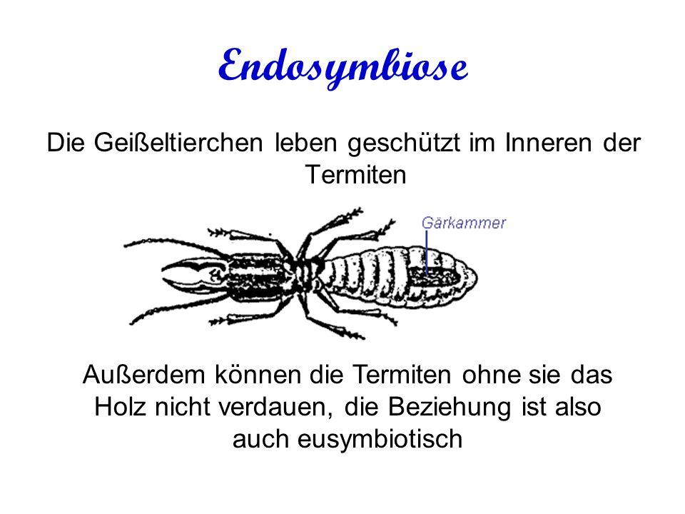 Die Geißeltierchen leben geschützt im Inneren der Termiten