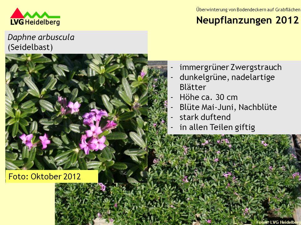 Neupflanzungen 2012 Daphne arbuscula (Seidelbast)