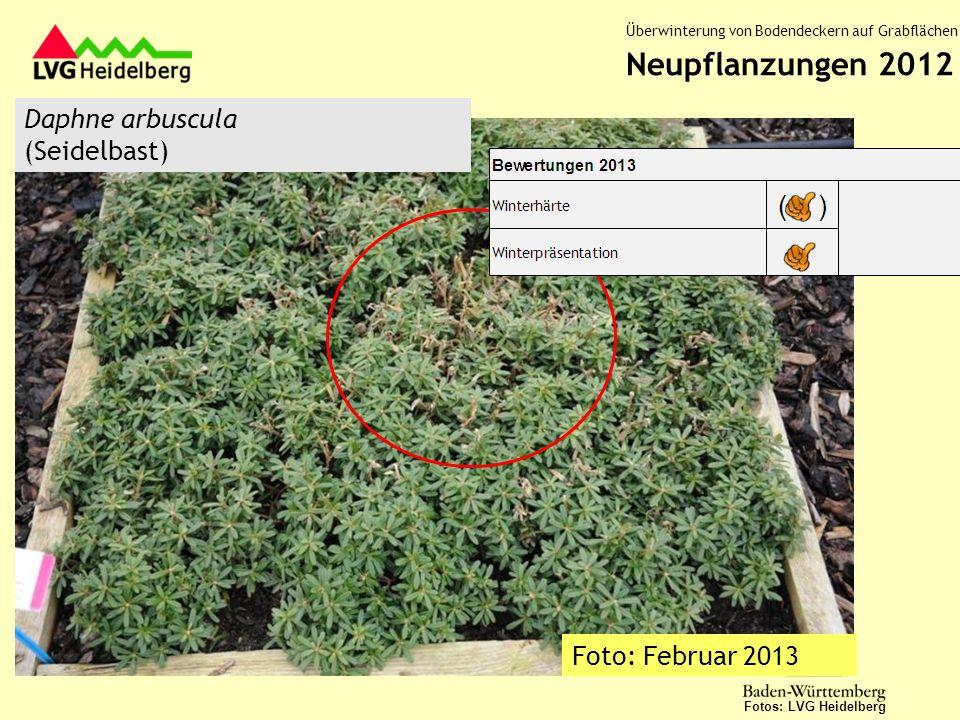 Neupflanzungen 2012 Daphne arbuscula (Seidelbast) Foto: Februar 2013