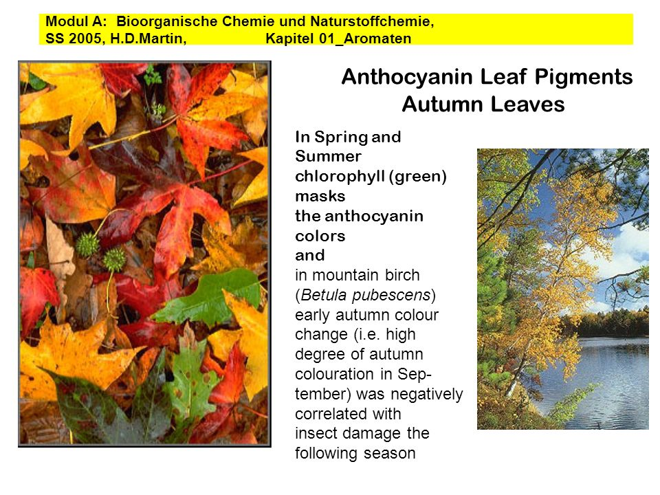Anthocyanin Leaf Pigments Autumn Leaves