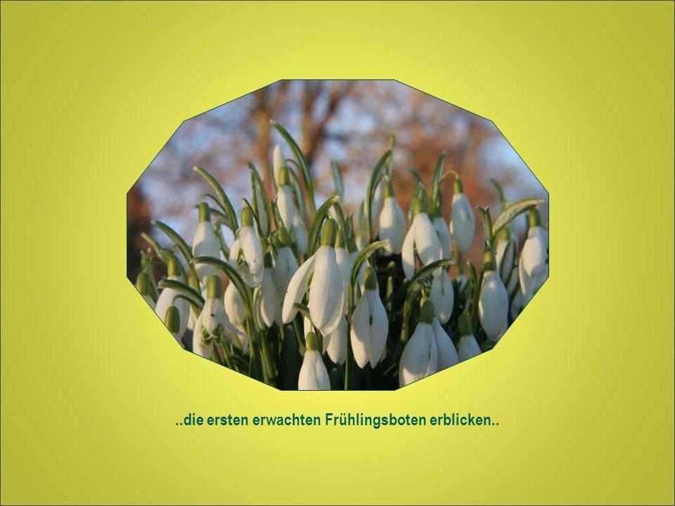 ..die ersten erwachten Frühlingsboten erblicken..