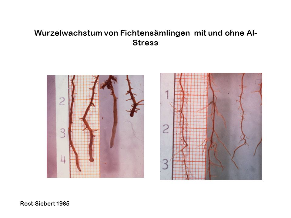 Wurzelwachstum von Fichtensämlingen mit und ohne Al-Stress