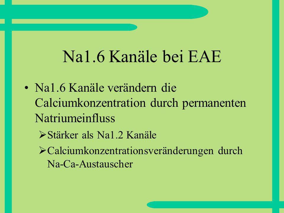 Na1.6 Kanäle bei EAE Na1.6 Kanäle verändern die Calciumkonzentration durch permanenten Natriumeinfluss.