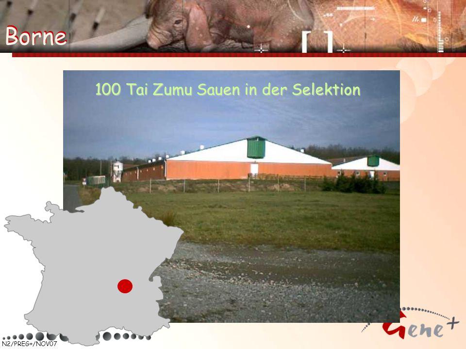 Borne Borne 100 Tai Zumu Sauen in der Selektion