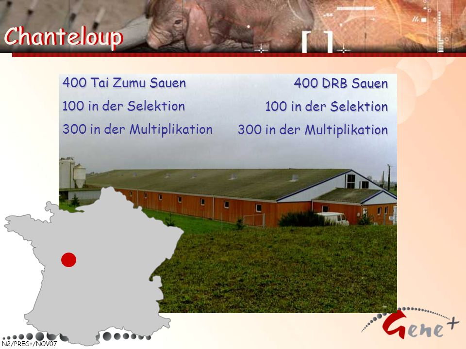Chanteloup Chanteloup 400 Tai Zumu Sauen 400 DRB Sauen