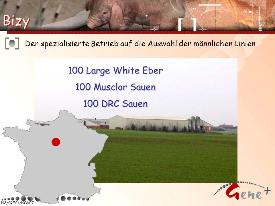Bizy Bizy 100 Large White Eber 100 Musclor Sauen 100 DRC Sauen