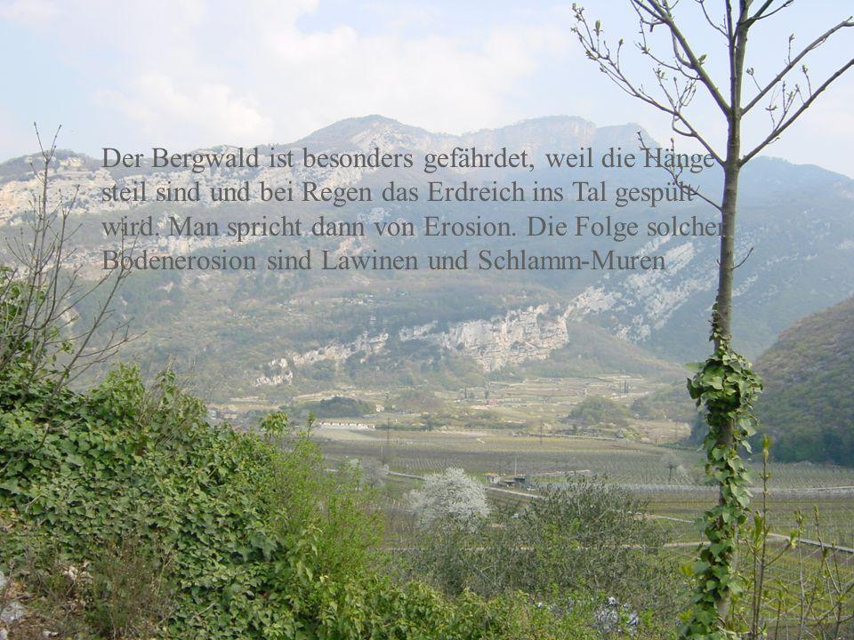Der Bergwald ist besonders gefährdet, weil die Hänge steil sind und bei Regen das Erdreich ins Tal gespült wird.