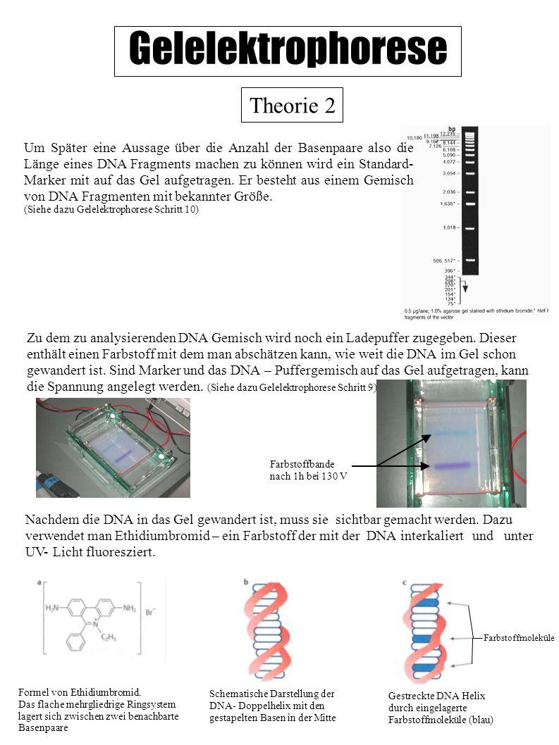Gelelektrophorese Theorie 2