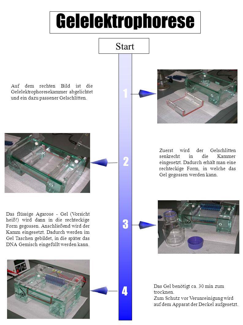 Gelelektrophorese 1 2 3 4 Start