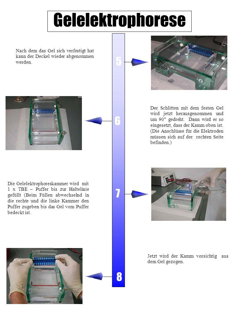 Gelelektrophorese Nach dem das Gel sich verfestigt hat kann der Deckel wieder abgenommen werden. 5.