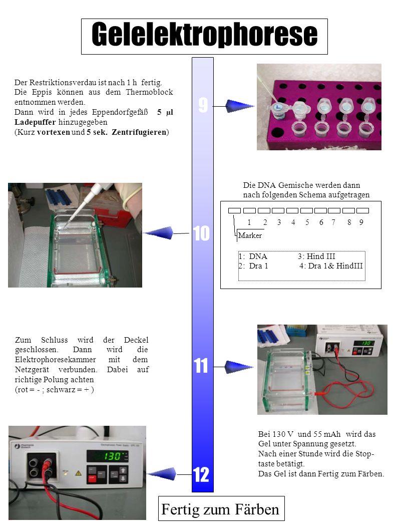 Gelelektrophorese 9 10 11 12 Fertig zum Färben