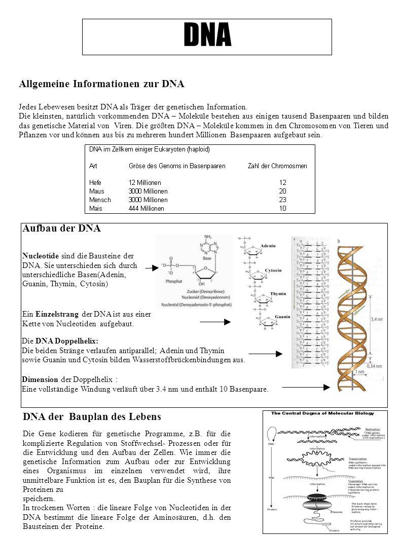 DNA Allgemeine Informationen zur DNA Aufbau der DNA