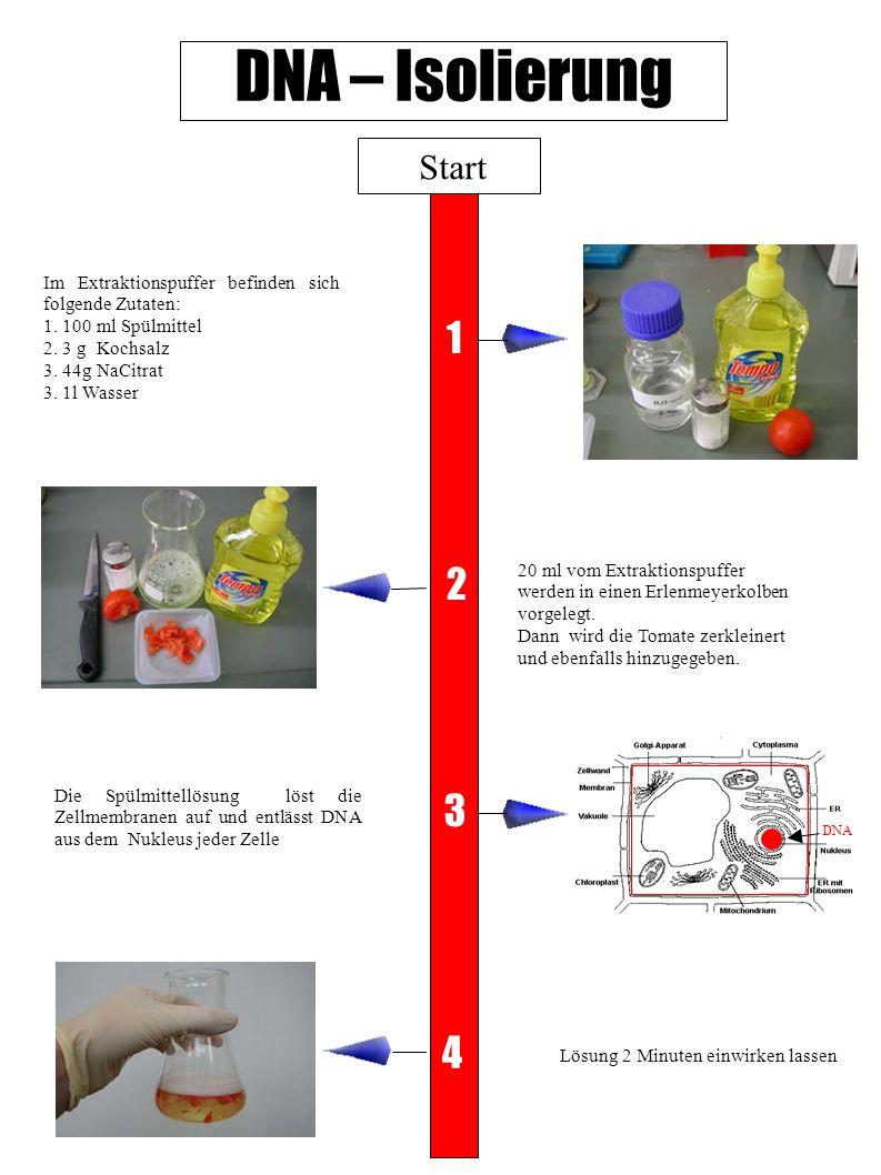 DNA – Isolierung Start. Im Extraktionspuffer befinden sich folgende Zutaten: 1. 100 ml Spülmittel.