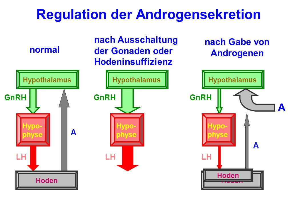 Regulation der Androgensekretion