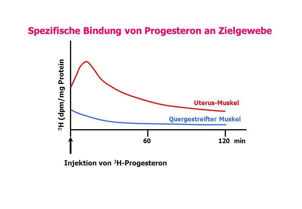 Spezifische Bindung von Progesteron an Zielgewebe