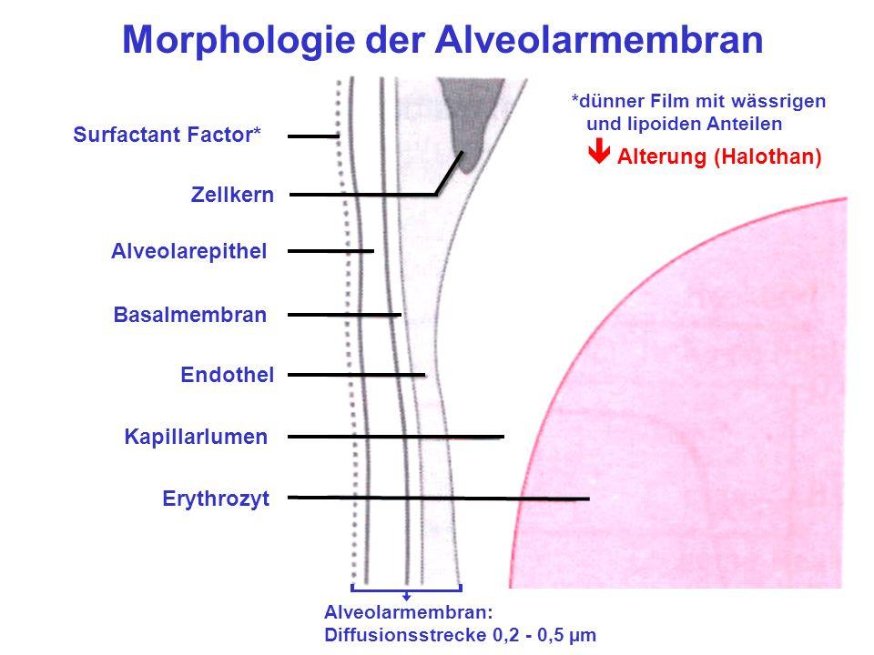 Morphologie der Alveolarmembran