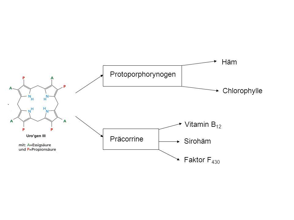 Protoporphorynogen Häm Chlorophylle Präcorrine Faktor F430 Sirohäm Vitamin B12