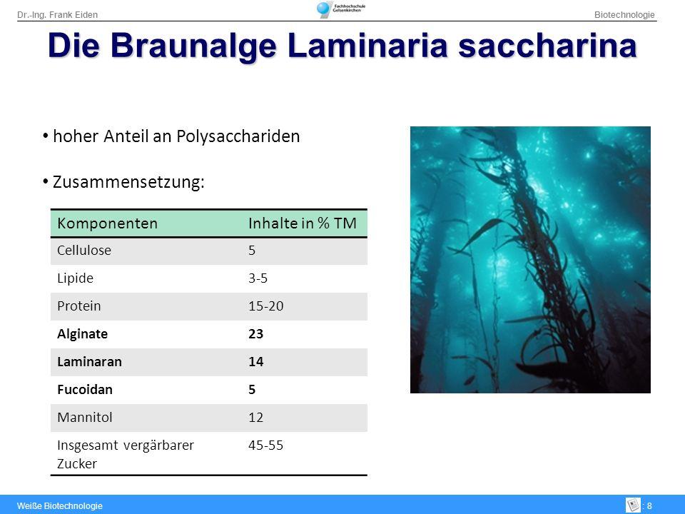 Die Braunalge Laminaria saccharina