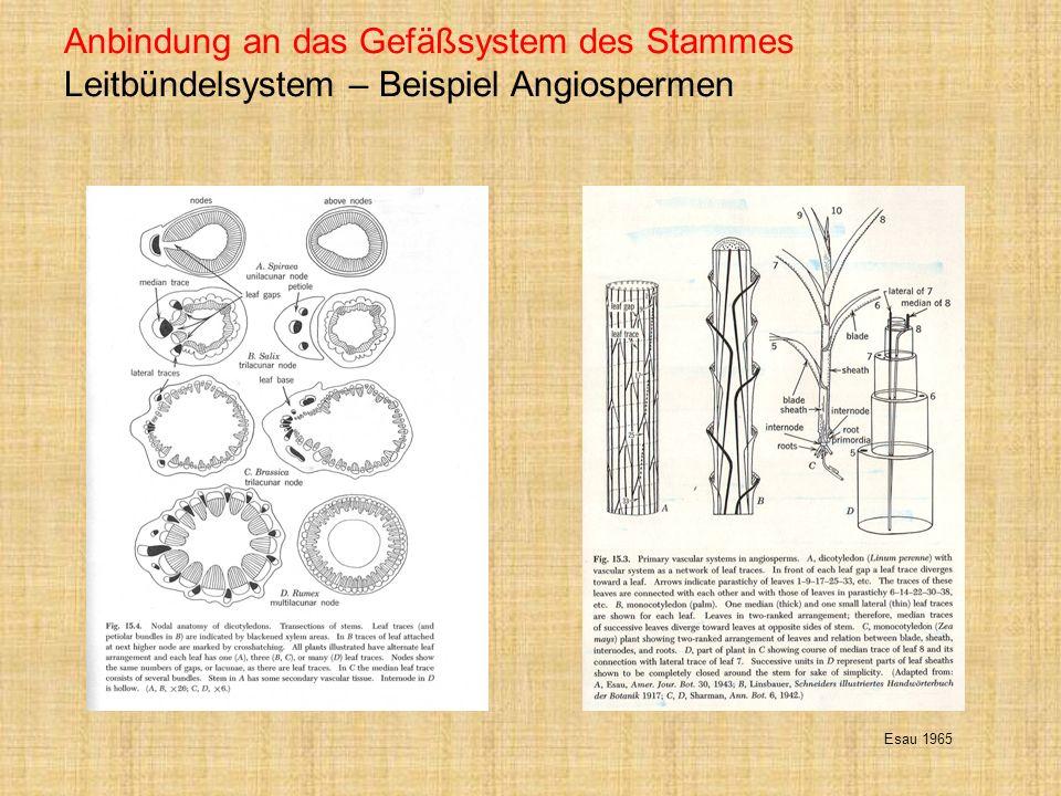 Anbindung an das Gefäßsystem des Stammes Leitbündelsystem – Beispiel Angiospermen