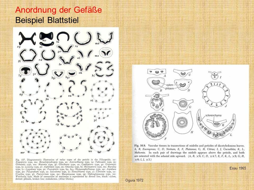 Anordnung der Gefäße Beispiel Blattstiel